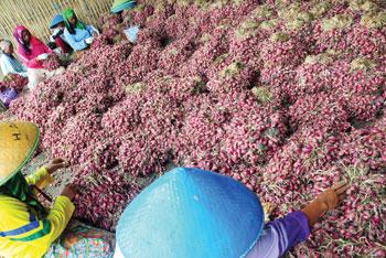 Produksi Bawang Merah Diprediksi Meningkat