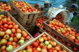 Harga Tomat Kota Batu Terjun Bebas