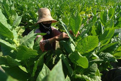 Tak Temukan Tembakau Jawa di Pamekasan