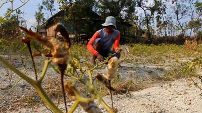 Puluhan Hektar Tanaman Cabai Gagal Panen