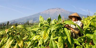 Bantuan Disalurkan 2016, Petani Tembakau Masih Proses Pendataan