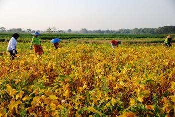 Petani Kedelai Lamongan Nikmati Harga Tinggi