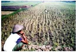 Pola Tanam Petani Salah Sebabkan Puso