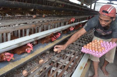 Jumlah Peternak Ayam Ras Turun, Harga Rentan Naik