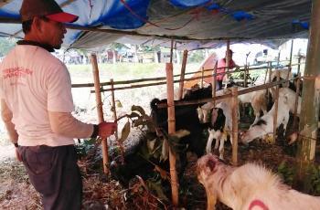 Penyakit Orf Hewan Kurban Serang Kota Mojokerto