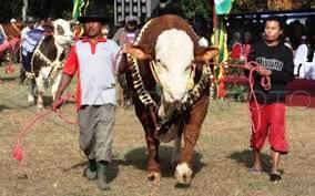 Kontes Ternak-Agribisnis Pertanian di Probolinggo