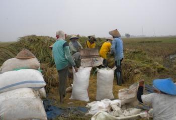 2015, Produksi Padi Bojonegoro Capai  858.979 Ton