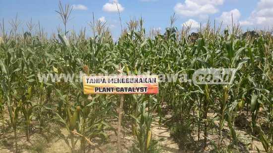 Tanpa P.Cat asam-jagung merana