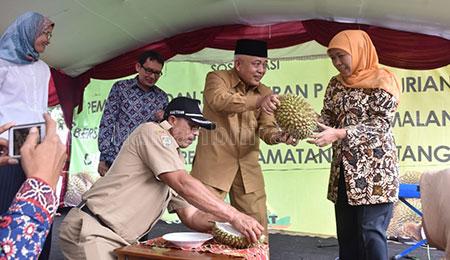 Miliki Rasa Khas, Durian Ngantang Lebih Enak dari Durian Impor