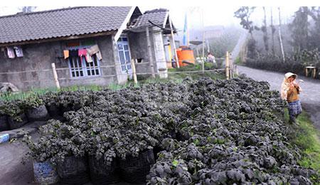 Terdampak Abu Vulkanik Bromo, Petani Tengger Panen Dini