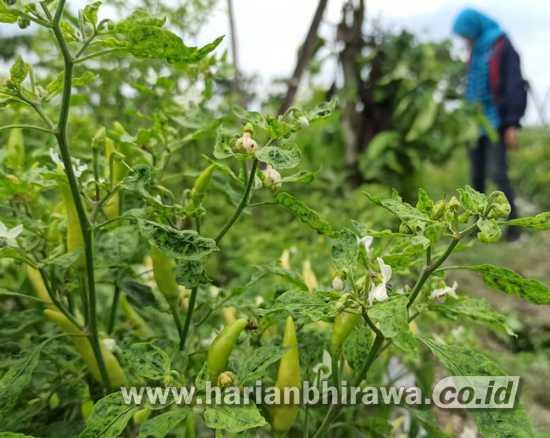 Diserang Virus, Petani Cabai Kediri Terancam Gagal Panen