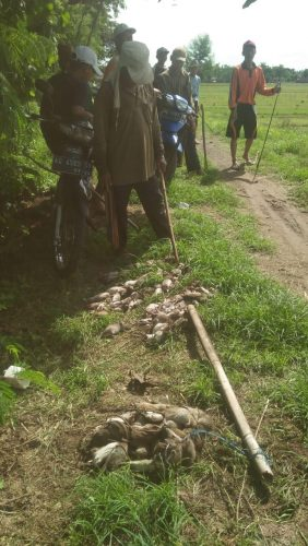 Muncul Hama Tikus. Lima Kecamatan di Trenggalek Ajukan Obat Rodentisida