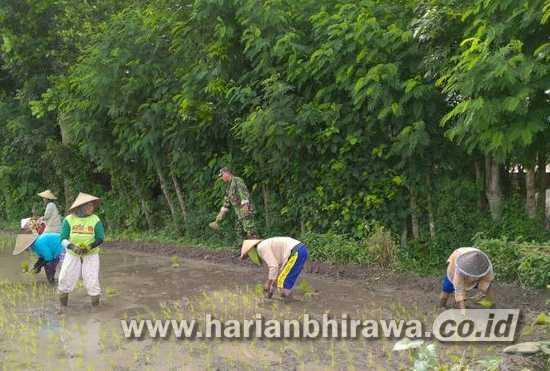 Babinsa Koramil 0815/14 Dlanggu Dampingi Petani Tandur Pari