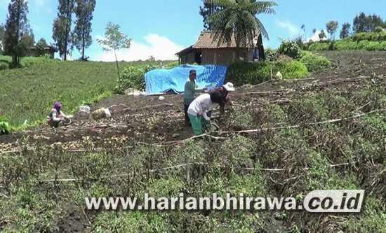 Cuaca Ekstrim, Petani Kecamatan Sumber Kec Probolinggo Alami Kerugian Miliaran