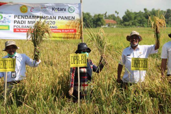 Pandemi Covid-19, Produksi Beras di Kabupaten Jombang Surplus