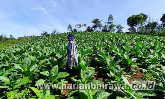 Cuaca Mendung, Tembakau di Kabupaten Probolinggo Diserang Ulat