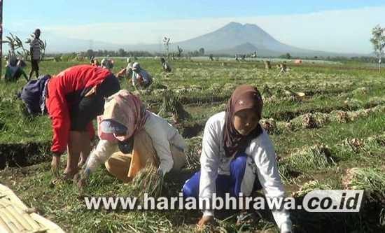 Panen Raya, Harga Bawang di Kabupaten Probolinggo Terus Anjlok