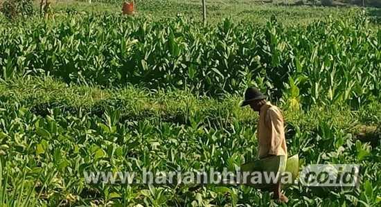 Petani Butuh Gudang Tembakau di Kabupaten Sampang