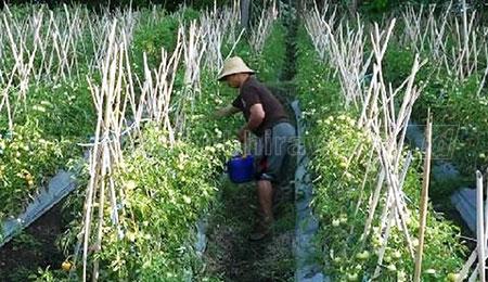 Harga Terjun Bebas, Petani Tomat Kelimpungan