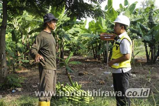 SIG Manfaatkan Lahan Pascatambang Jadi Area Perkebunan Pisang Cavendish