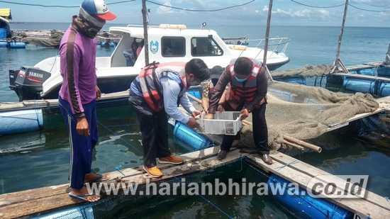 PLN UP3 Situbondo Salurkan Bantuan Ribuan Bibit Lobster