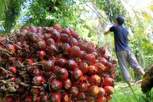 Menyorot Tata Kelola Sawit Indonesia