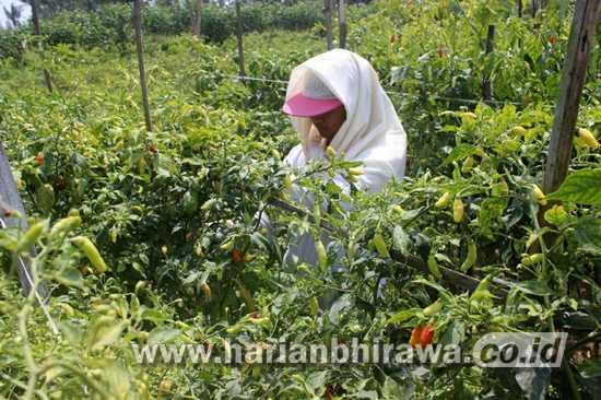 Harga Cabai Rawit di Kabupaten Malang Kejar Harga Daging Sapi