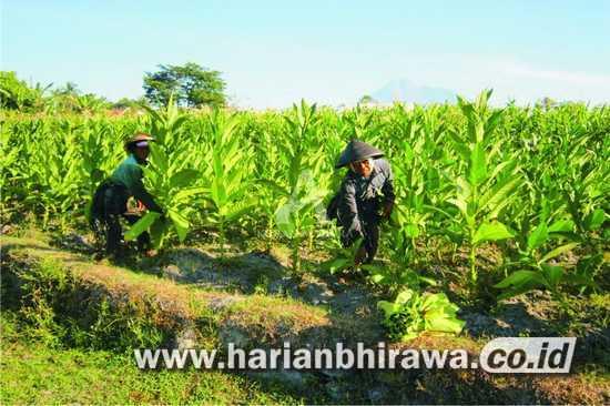 Gudang Tembakau Belum Buka, Petani Kabupaten Probolinggo Mulai Panen