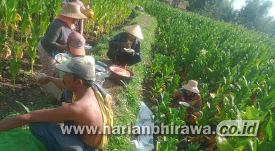 Harga Tembakau Kering di Kabupaten Sampang Terus Naik