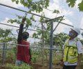 Gandeng Balitjestro, SIG Budidayakan Tanaman Buah di Lahan Green Belt Pabrik Tuban